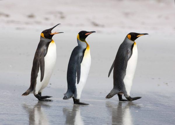 King penguins walking on beach