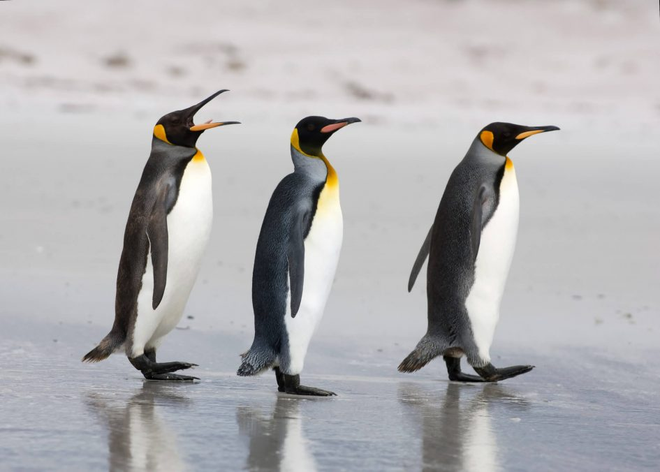 King penguins walking on beach